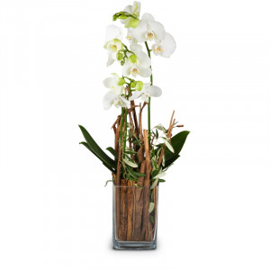 Magic (orchid with vase)